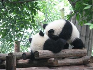 Des pandas en plein jeu