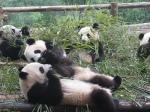 Pas toujours menançant, un panda