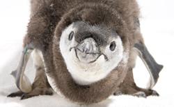 Un poussin Penguin qui a l'air bien gentil