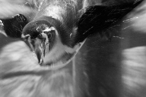 Un pingouin fonce, un peu effrayant, en noir et blang
